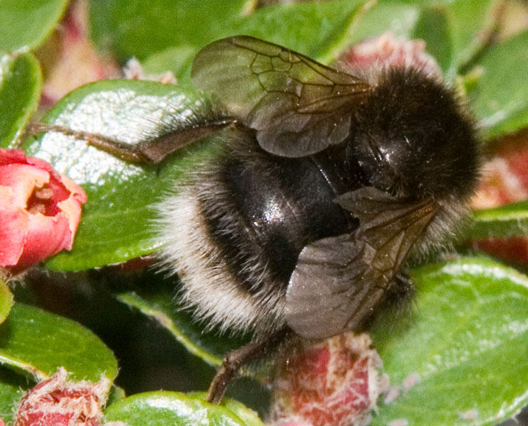 Black-chested tree bumblebee